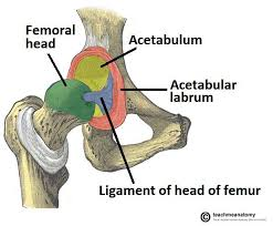 Hip joint 2